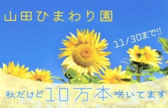 【みやき町】秋なのにひまわり「山田ひまわり園」